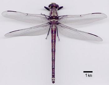giant_dragonfly.jpg